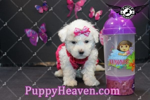 Alice - Tiny Miniature Poodle Puppy Has Found A Loving Home With In Gabby Los Angeles, CA!-6881