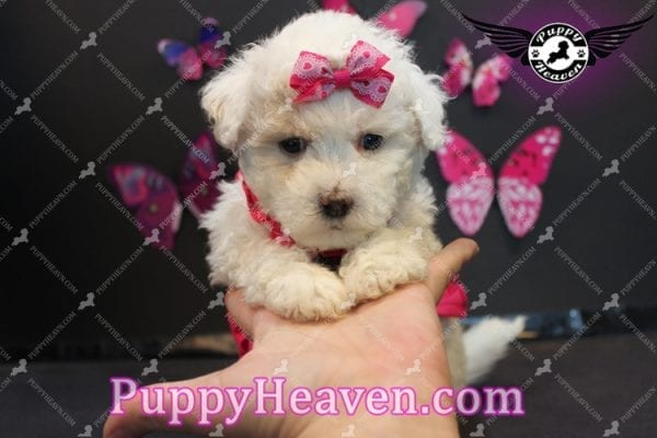 Alice - Tiny Miniature Poodle Puppy Has Found A Loving Home With In Gabby Los Angeles, CA!-6887
