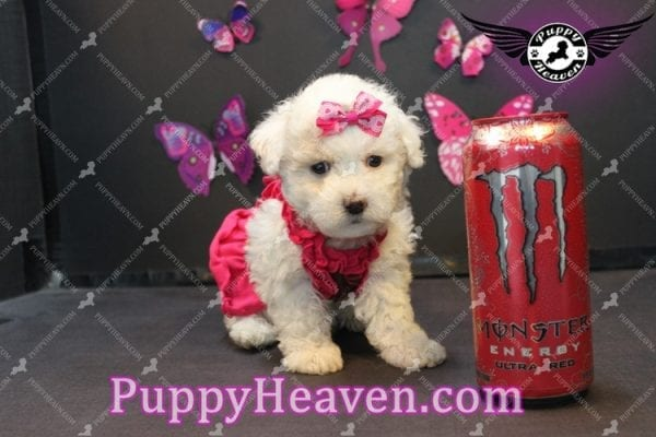 Alice - Tiny Miniature Poodle Puppy Has Found A Loving Home With In Gabby Los Angeles, CA!-0