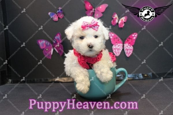 Alice - Tiny Miniature Poodle Puppy Has Found A Loving Home With In Gabby Los Angeles, CA!-6886