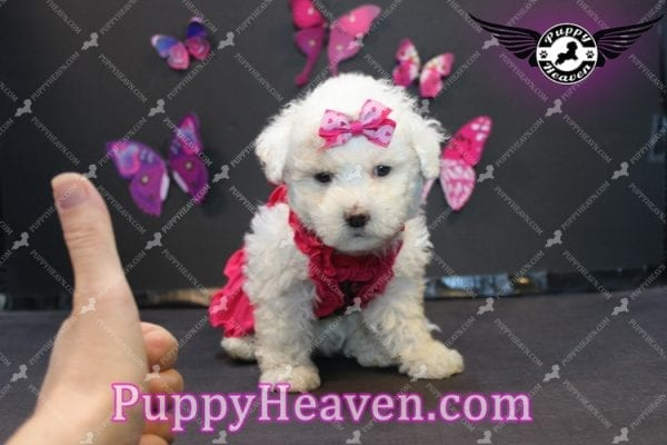 Alice - Tiny Miniature Poodle Puppy Has Found A Loving Home With In Gabby Los Angeles, CA!-6885