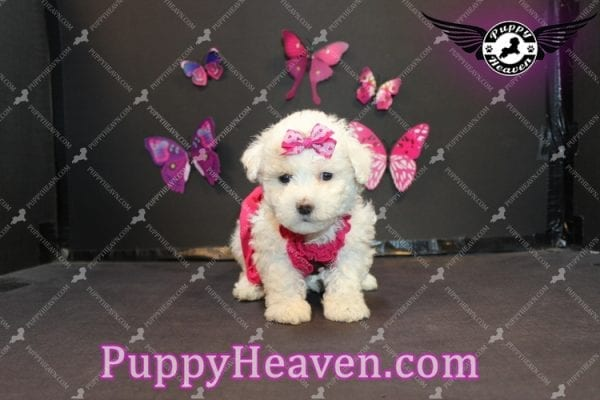 Alice - Tiny Miniature Poodle Puppy Has Found A Loving Home With In Gabby Los Angeles, CA!-6884