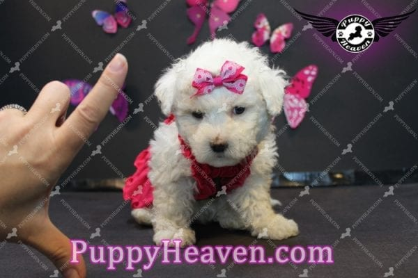 Alice - Tiny Miniature Poodle Puppy Has Found A Loving Home With In Gabby Los Angeles, CA!-6888