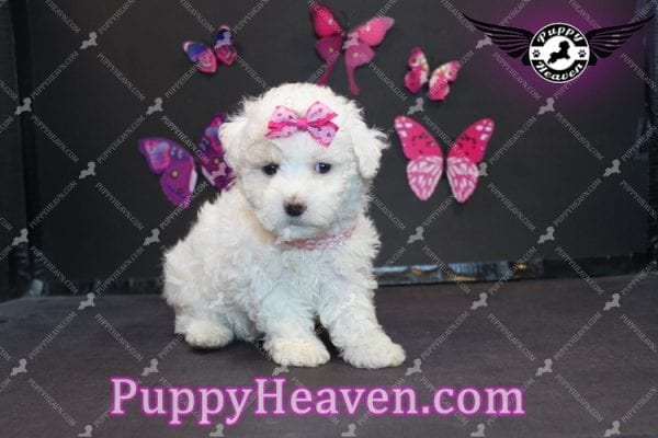 Alice - Tiny Miniature Poodle Puppy Has Found A Loving Home With In Gabby Los Angeles, CA!-6880