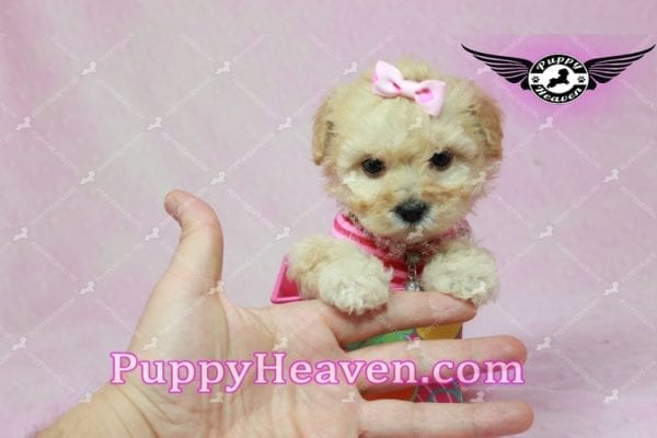 Jay Lo - Tiny Teacup MaltiPoo Puppy Found a New loving Home -7191