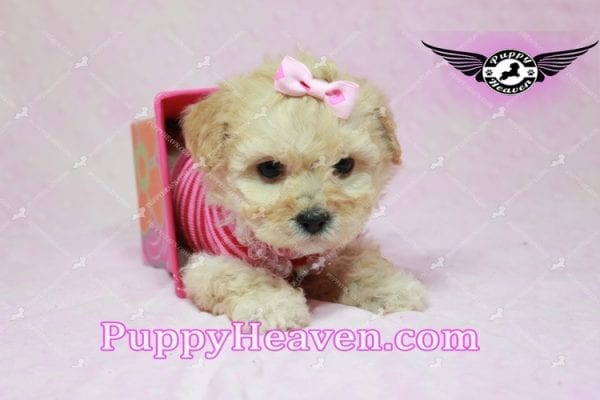 Jay Lo - Tiny Teacup MaltiPoo Puppy Found a New loving Home -7199