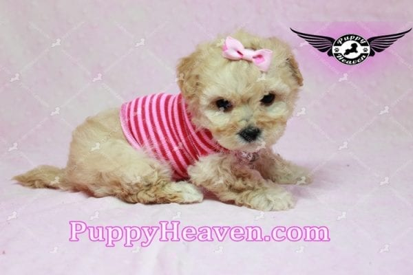 Jay Lo - Tiny Teacup MaltiPoo Puppy Found a New loving Home -7195