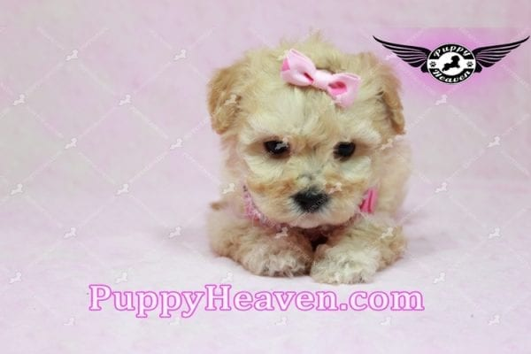 Jay Lo - Tiny Teacup MaltiPoo Puppy Found a New loving Home -7194