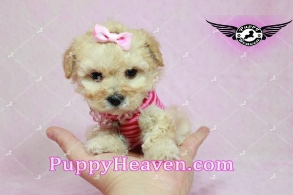 Jay Lo - Tiny Teacup MaltiPoo Puppy Found a New loving Home -7197