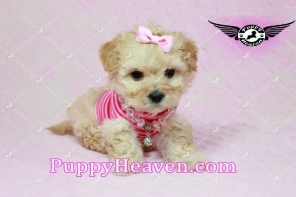 Jay Lo - Tiny Teacup MaltiPoo Puppy Found a New loving Home -7196