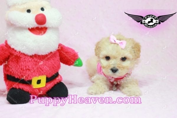 Jay Lo - Tiny Teacup MaltiPoo Puppy Found a New loving Home -7193