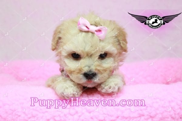 Jay Lo - Tiny Teacup MaltiPoo Puppy Found a New loving Home -0