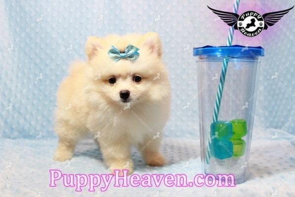 Bambi - Teacup Pomeranian Puppy has found a good loving home with Judy from Las Vegas, NV 89109-9545