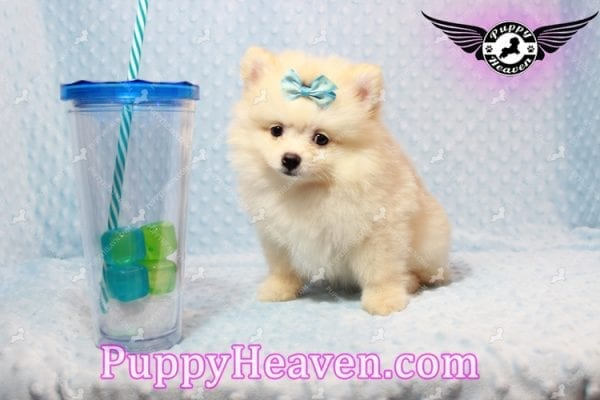 Bambi - Teacup Pomeranian Puppy has found a good loving home with Judy from Las Vegas, NV 89109-0