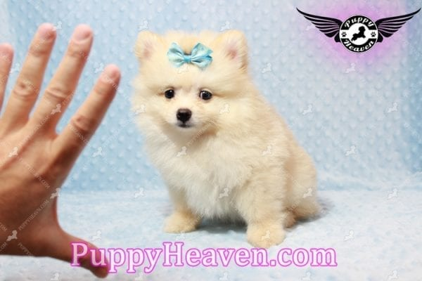 Bambi - Teacup Pomeranian Puppy has found a good loving home with Judy from Las Vegas, NV 89109-9547