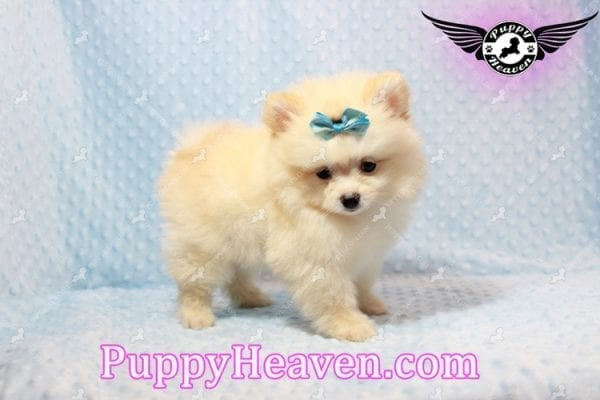 Bambi - Teacup Pomeranian Puppy has found a good loving home with Judy from Las Vegas, NV 89109-9549