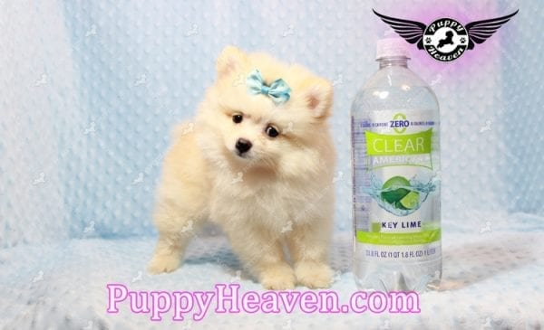 Bambi - Teacup Pomeranian Puppy has found a good loving home with Judy from Las Vegas, NV 89109-9548