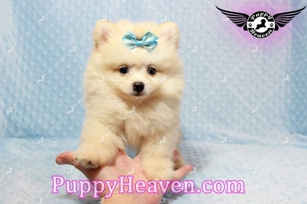 Bambi - Teacup Pomeranian Puppy has found a good loving home with Judy from Las Vegas, NV 89109-9546