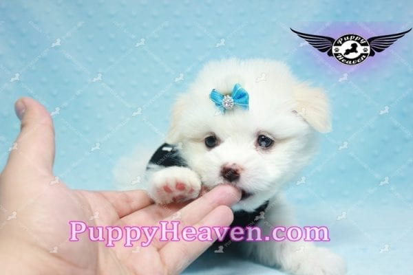 Denver - Teacup Pomtese Puppy Found His Loving Home with Colin from Woodland Hills CA 91364-9294