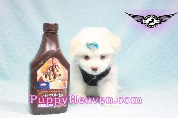 Denver - Teacup Pomtese Puppy Found His Loving Home with Colin from Woodland Hills CA 91364-9296