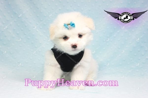 Denver - Teacup Pomtese Puppy Found His Loving Home with Colin from Woodland Hills CA 91364-0
