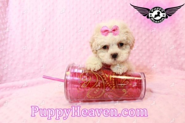 Emma Frost - Teacup Maltipoo Puppy has found a good loving home with James from Las Vegas, NV 89169-9467