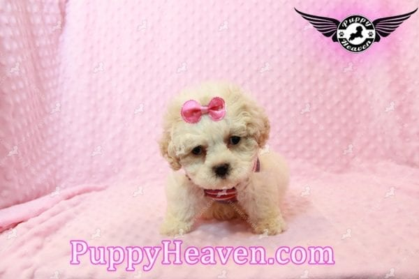 Emma Frost - Teacup Maltipoo Puppy has found a good loving home with James from Las Vegas, NV 89169-9469