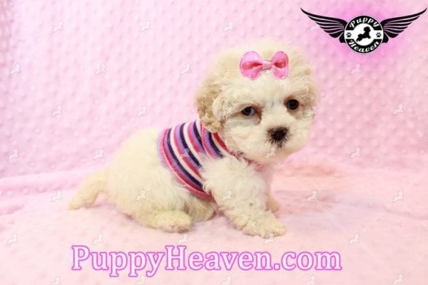 Emma Frost - Teacup Maltipoo Puppy has found a good loving home with James from Las Vegas, NV 89169-9464