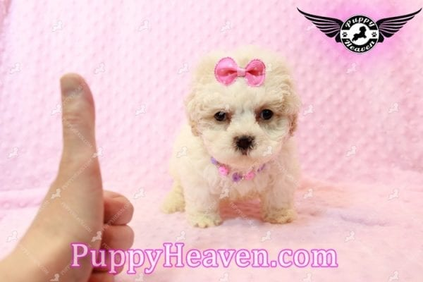 Emma Frost - Teacup Maltipoo Puppy has found a good loving home with James from Las Vegas, NV 89169-9463