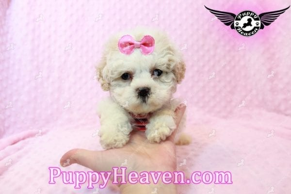 Emma Frost - Teacup Maltipoo Puppy has found a good loving home with James from Las Vegas, NV 89169-9465