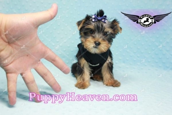 George Lopez - Teacup Yorkie Puppy in Las Vegas Found A Loving Home With Juan in Las Vegas, NV 89169!-9209