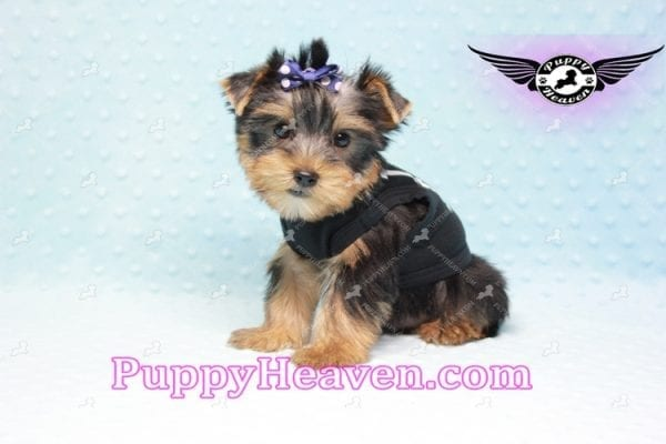 George Lopez - Teacup Yorkie Puppy in Las Vegas Found A Loving Home With Juan in Las Vegas, NV 89169!-9210