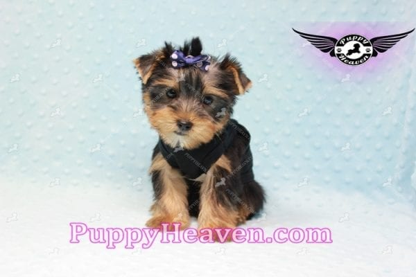 George Lopez - Teacup Yorkie Puppy in Las Vegas Found A Loving Home With Juan in Las Vegas, NV 89169!-9208
