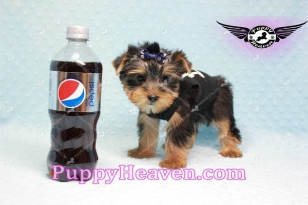 George Lopez - Teacup Yorkie Puppy in Las Vegas Found A Loving Home With Juan in Las Vegas, NV 89169!-9211