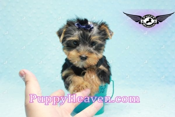 George Lopez - Teacup Yorkie Puppy in Las Vegas Found A Loving Home With Juan in Las Vegas, NV 89169!-0