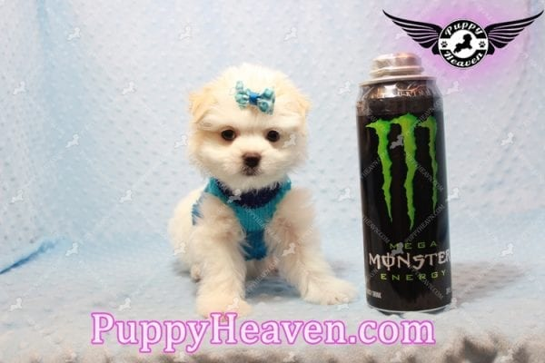 Gravity - Toy Maltese Pupp has found a good loving home with Garnet from Henderson, NV 89012-9551