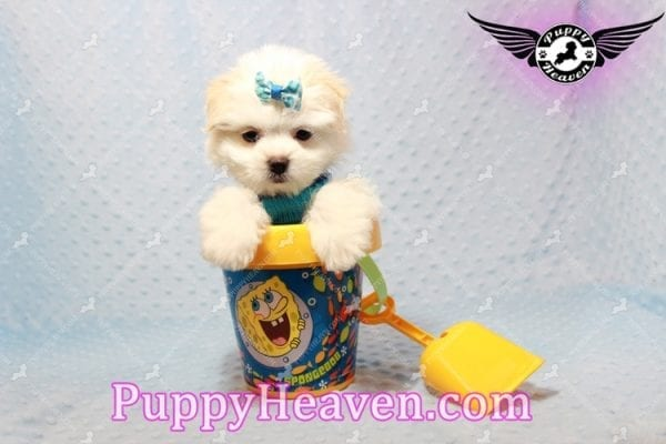 Gravity - Toy Maltese Pupp has found a good loving home with Garnet from Henderson, NV 89012-9555