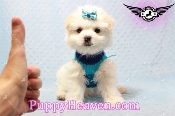 Gravity - Toy Maltese Pupp has found a good loving home with Garnet from Henderson, NV 89012-9557
