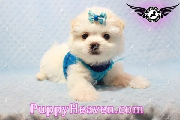 Gravity - Toy Maltese Pupp has found a good loving home with Garnet from Henderson, NV 89012-9554