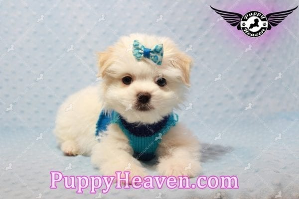 Gravity - Toy Maltese Pupp has found a good loving home with Garnet from Henderson, NV 89012-9552