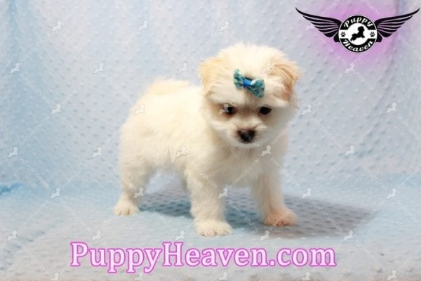Gravity - Toy Maltese Pupp has found a good loving home with Garnet from Henderson, NV 89012-9553