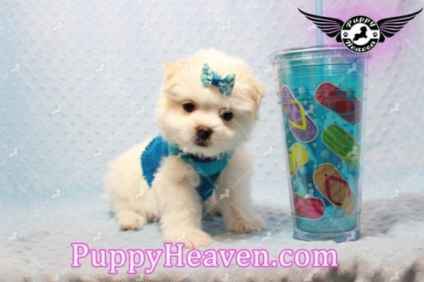 Gravity - Toy Maltese Pupp has found a good loving home with Garnet from Henderson, NV 89012-0
