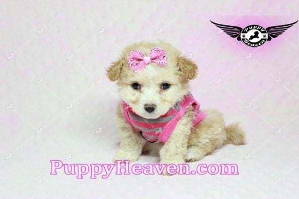 Gucci - Teacup Poodle Puppy in Los Angeles Found A New Loving Home With Michael From Van Nuys Ca 91411-9320