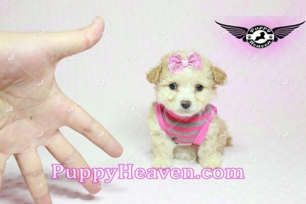 Gucci - Teacup Poodle Puppy in Los Angeles Found A New Loving Home With Michael From Van Nuys Ca 91411-9324