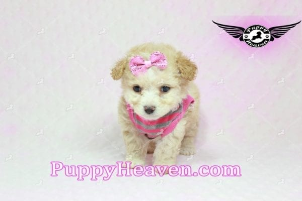 Gucci - Teacup Poodle Puppy in Los Angeles Found A New Loving Home With Michael From Van Nuys Ca 91411-9319
