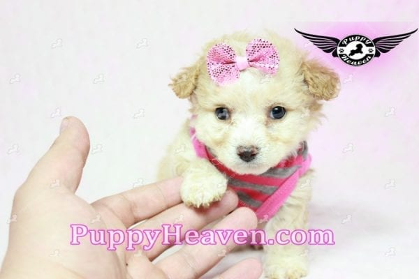 Gucci - Teacup Poodle Puppy in Los Angeles Found A New Loving Home With Michael From Van Nuys Ca 91411-9322