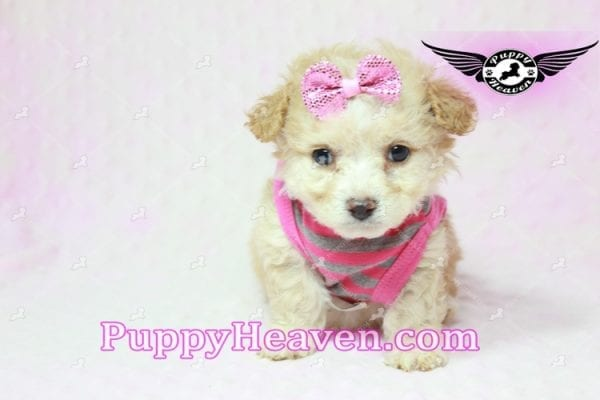 Gucci - Teacup Poodle Puppy in Los Angeles Found A New Loving Home With Michael From Van Nuys Ca 91411-9318