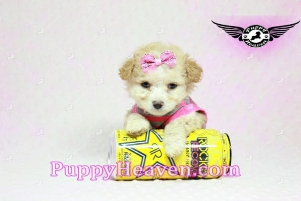 Gucci - Teacup Poodle Puppy in Los Angeles Found A New Loving Home With Michael From Van Nuys Ca 91411-9325