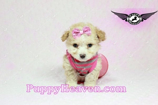 Gucci - Teacup Poodle Puppy in Los Angeles Found A New Loving Home With Michael From Van Nuys Ca 91411-9323