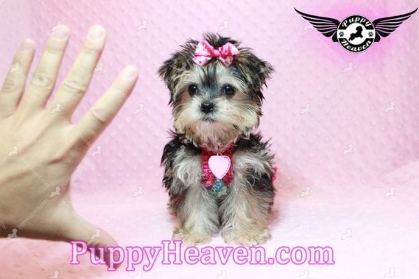 Heidi Klum - Teacup Morkie Puppy has found a good loving home with Vanessa from Henderson, NV 89052-9566